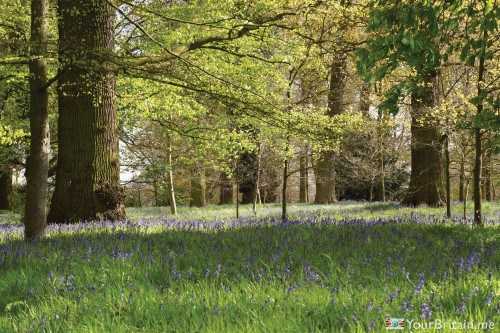 Bluebell-Wood-Attingham-Park.jpg
